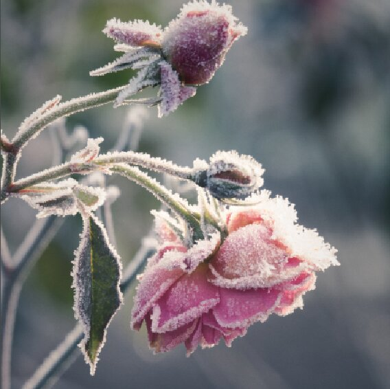 SON-GAR-Rose-Winter.jpg